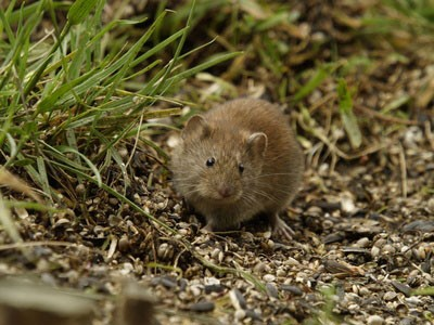 how to get rid of voles without killing them